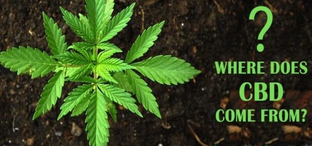 Where-Does-CBD-Come-From