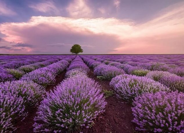 Mesa lavender farms