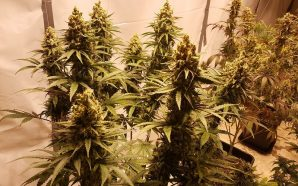 Cannabis Growing Industry